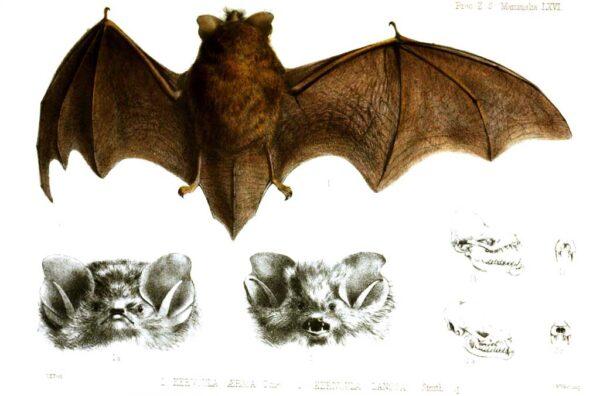 Murcegots