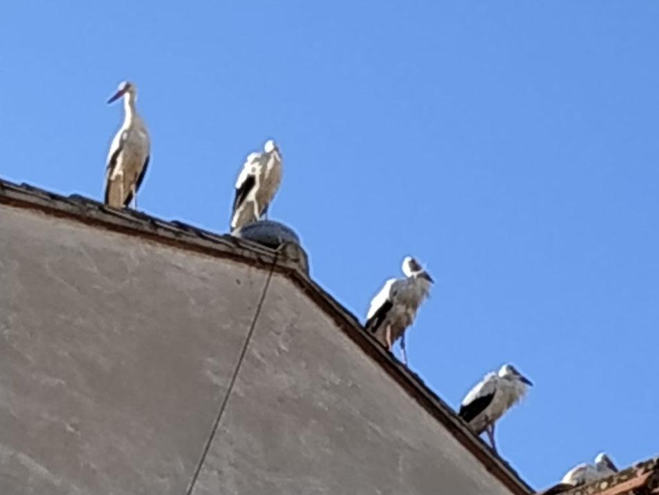 Cigonyes a Vall-de-roures