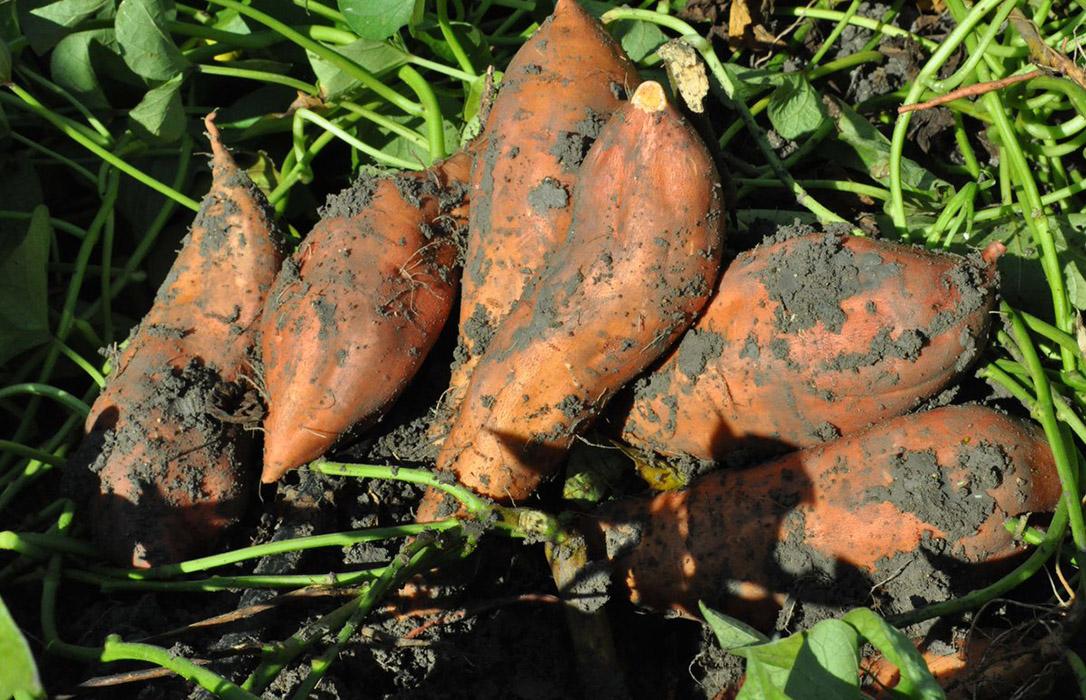 Temps de moniatos