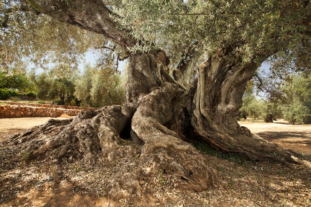 Qui va plantar les oliveres mil·lenàries?*