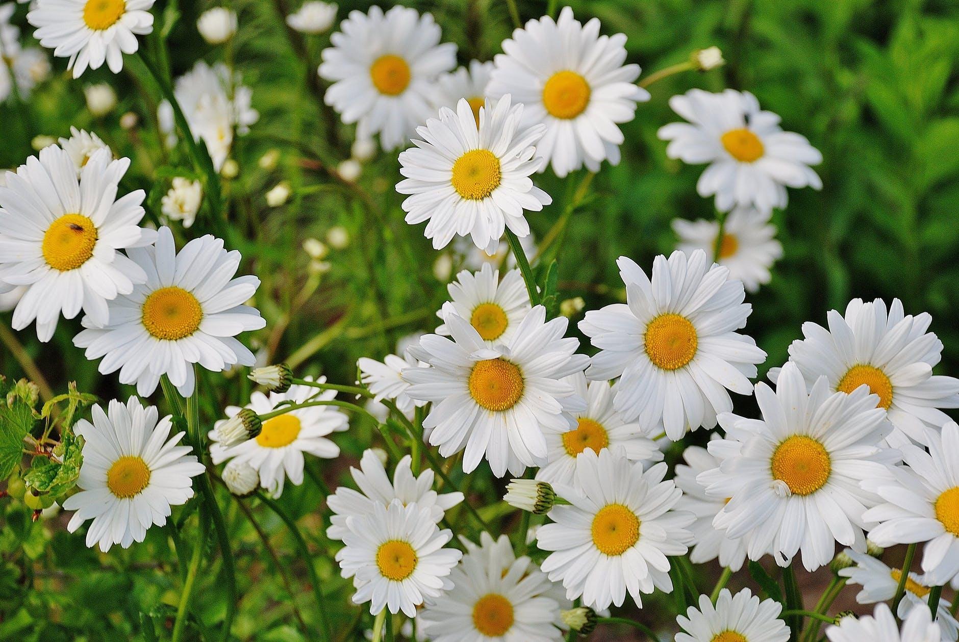 Primavera rondadora*